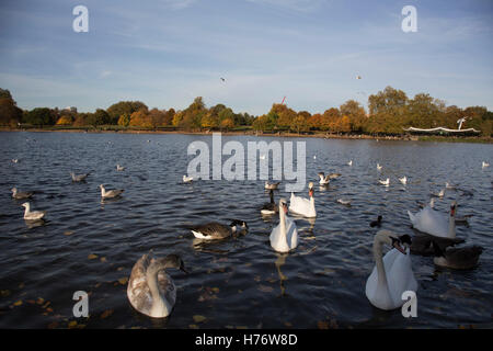 Autumn scene with swans, geese and other birds at The Serpentine in Hyde Park, London, England, United Kingdom. - Stock Photo