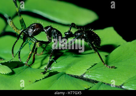 Bullet Ant (Paraponera clavata) with grasshopper prey in jaws. Tortuguero National Park, Costa Rica
