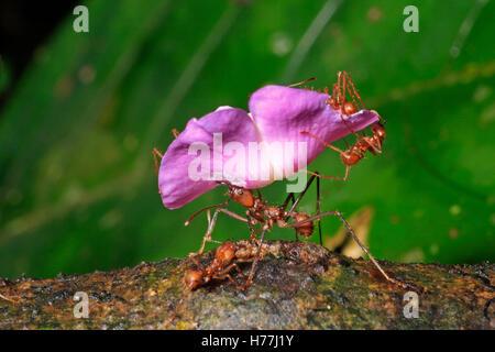 Leaf-cutter ants (Atta sp.) carrying petals of Tonka Bean tree (Dipteryx panamensis) to nest. Rainforest, La Selva, Costa Rica