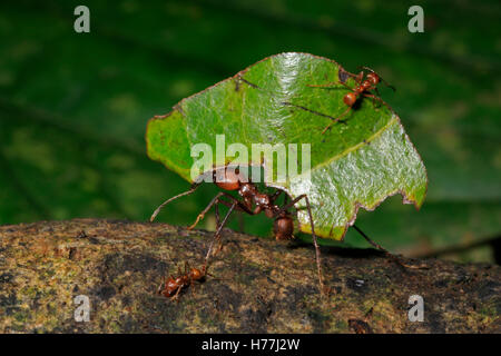 Leaf-cutter ant (Atta sp.) carrying leaves to nest. Small ant on leaf guarding against wasps. Rainforest, La Selva, Costa Rica
