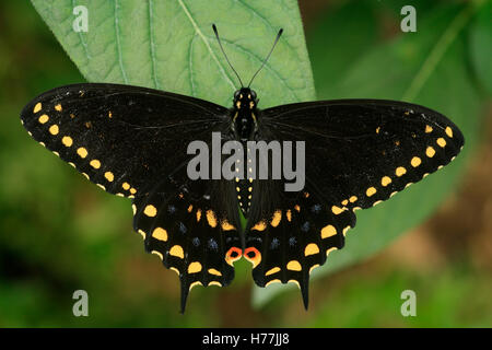 Black Swallowtail Butterfly (Papilio polyxenes), Costa Rica. - Stock Photo