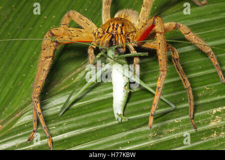 Wandering Spider (Cupiennius getazi) feeding on katydid in rainforest, La Selva Biological Station, Costa Rica. - Stock Photo