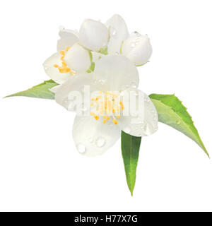 Jasmine flower mock orange blossom macro closeup isolated, Philadelphus coronarius L. lewisii native wildflowers - Stock Photo