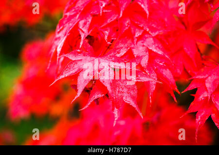 Red Japanese maple (Acer Palmatum) leaves in autumn colours, wet with raindrops - Stock Photo