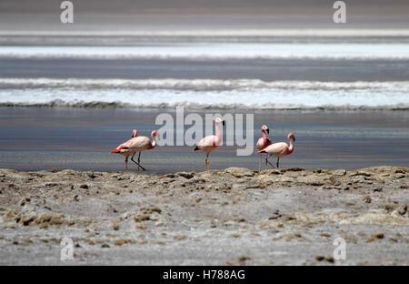 Andean flamingos, parinas grandes, phoenicoparrus andinus, in the water of Laguna Hedionda, Bolivia - Stock Photo