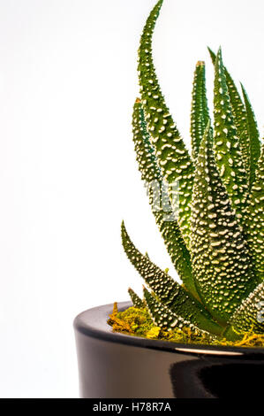 Close up shot of tiny cactus (Haworthia attenuata var. radula - Hankey Dwarf Aloe) isolated on white background - Stock Photo