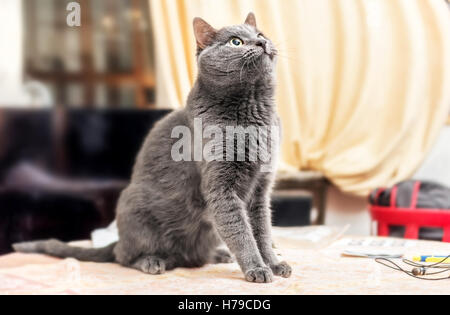 Pretty adult grey cat looking up as romantic hero - Stock Photo