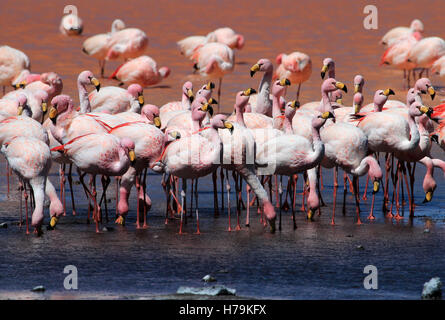James flamingos, phoenicoparrus jamesi, also known as the puna flamingo, are populated in high altitudes of andean - Stock Photo