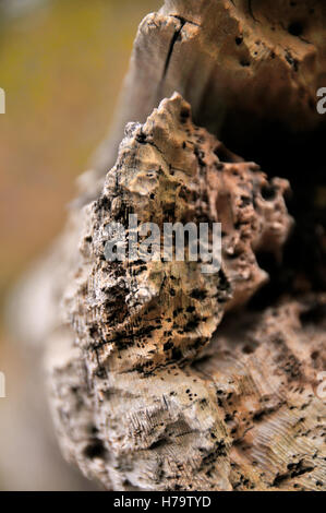 Close up photograph of the end of a rotten log. - Stock Photo