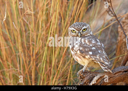 Little owl perching on rockand hide behind dry stems - Stock Photo