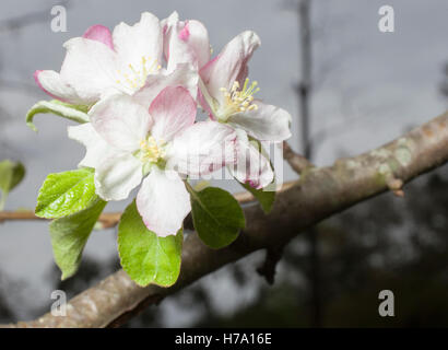 White and red flowers that are on a green apple tree in the spring - Stock Photo
