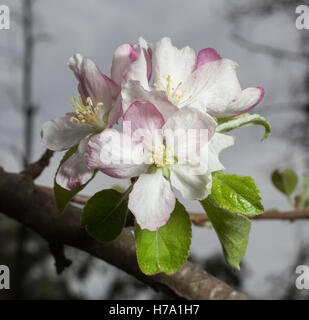 Blossom on a branch of a granny smith apple tree in spring - Stock Photo