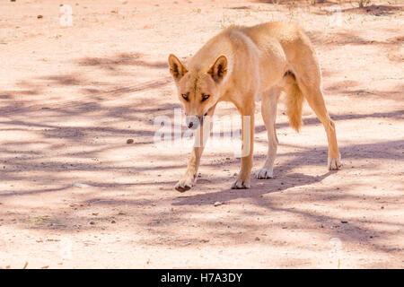 Healthy dingo walking, Northern Territory, Australia - Stock Photo