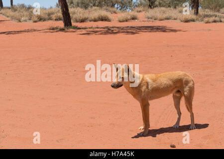 Healthy dingo in the wild in outback Australia - Stock Photo