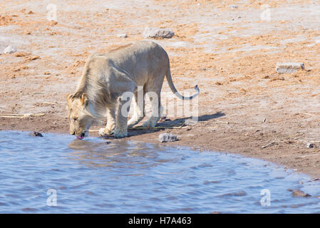 Young male Lion drinking from waterhole in daylight. Wildlife Safari in Etosha National Park, the main travel destination - Stock Photo