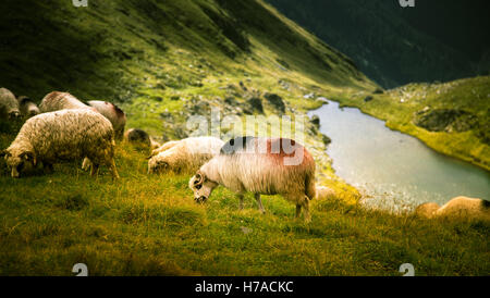 Sheep grazing in Carpathian mountains - Stock Photo