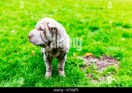 The Chinese Shar-Pei puppy cute wrinkles wrinkled face canine pet dog - Stock Photo