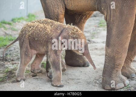 New South Wales, Australia.. 3rd Nov, 2016. Photo taken on Nov. 3, 2016, shows an Asian elephant calf in Australia's - Stock Photo