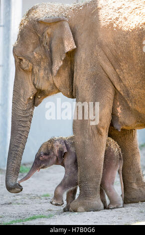 New South Wales, Australia.. 3rd Nov, 2016. Photo taken on Nov. 3, 2016, shows an Asian elephant calf (down) in - Stock Photo