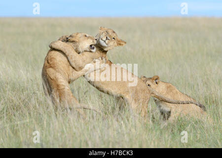 Young lions (Panthera leo) playing together, Maasai Mara national reserve, Kenya - Stock Photo