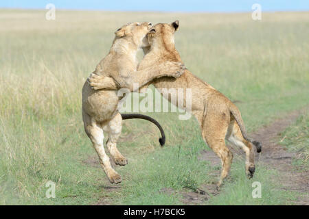 Young lions (Panthera leo) playing together, Maasai Mara national reserve, Kenya - Stock Photo
