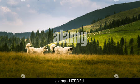Two shepherd dogs in a Carpathian landscape - Stock Photo