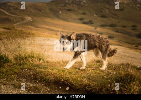 Portrait of a shepherd dog in a Carpathian landscape - Stock Photo