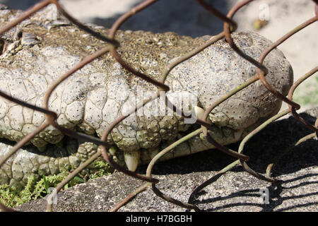 Crocodile teeth. Crocodile in the cage. Full frame crocodile in the zoo. - Stock Photo