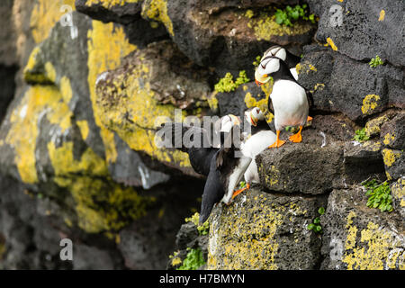Horned Puffins (Fratecula corniculata) crowd on to the cliffs on St. Paul Island in Southwest Alaska. - Stock Photo