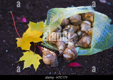 Planting daffodils in the fall garden. - Stock Photo
