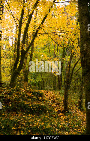 Autumn colours and fallen leaves in Tyn y Groes forest park, near  Dolgellau , Snowdonia National Park, Wales UK - Stock Photo
