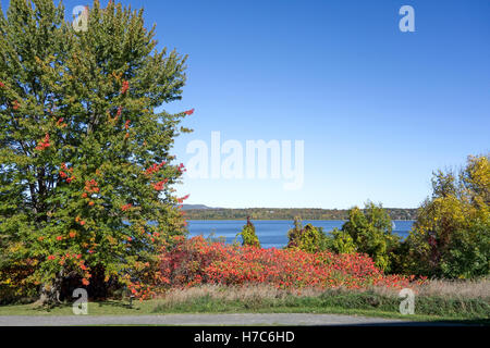 Red sumac bushes and maple tree - Stock Photo