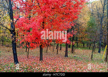 Red leaves on maple tree - Stock Photo