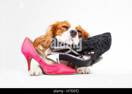 Dog with shoe. King charles spaniel dog with shoes. High heels in studio with dog. Dog with shoes. Dog with high - Stock Photo