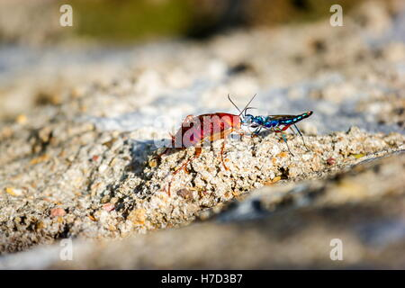 The emerald cockroach wasp or jewel wasp is a solitary wasp. It is known for its unusual reproductive behavior, - Stock Photo