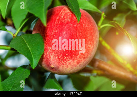 Sweet peach fruits growing on a peach tree branch in summer - Stock Photo
