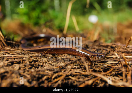 Blindworm or slow worm basking in the sun - Stock Photo
