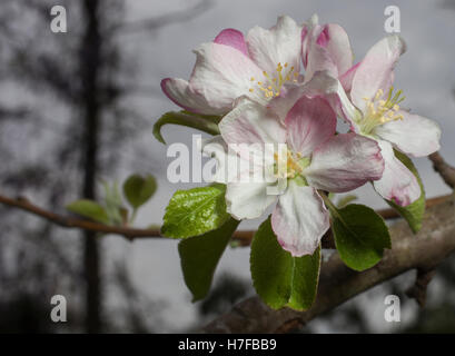 White flowers in bloom on an apple tree in the spring - Stock Photo
