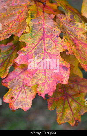 Quercus leaves in Autumn. Oak leaves. - Stock Photo