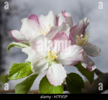 White and red flowers on a small apple tree near dusk - Stock Photo
