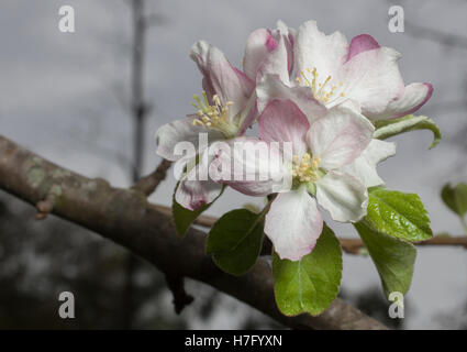 White flowers on an apple tree branch in the early srpring - Stock Photo