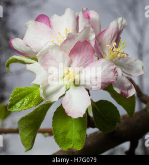Flowers in the spring on a granny smith apple tree - Stock Photo