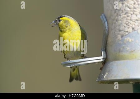 Male Siskin  (Carduelis spinus) on garden feeder - Stock Photo