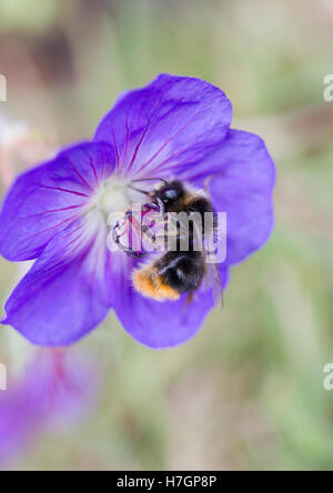 Bee collecting pollen from a flower. - Stock Photo