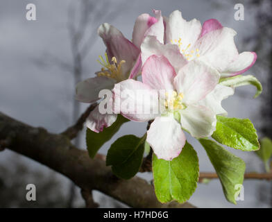 White flowers on an apple tree long before summer - Stock Photo