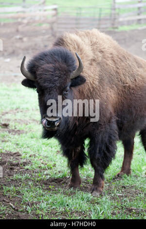 Buffalo bison raised on a ranch for commercial consumption. Pierz Minnesota MN USA - Stock Photo