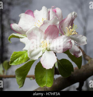 Small white flowers on an apple tree in early spring - Stock Photo