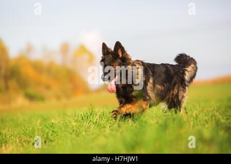 cute German Shepherd dog running on the meadow - Stock Photo