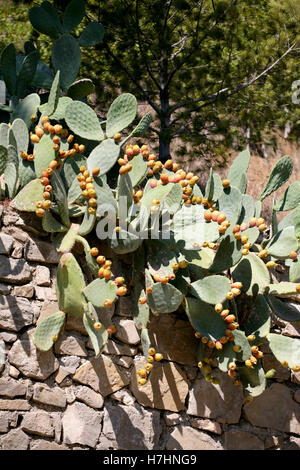 Opuntia / Prickly pear cactus with lots of yellow-orange fruit - Stock Photo