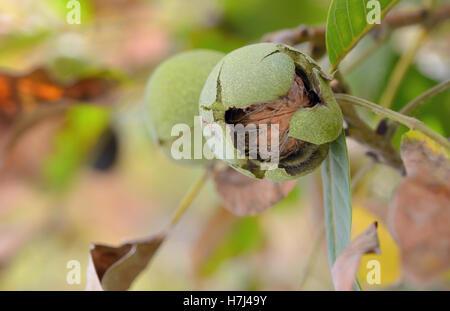 Closeup shot of a ripe walnut on tree - Stock Photo
